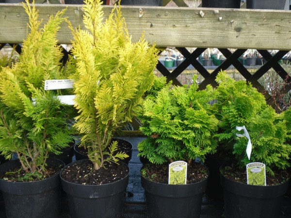 Chamaecyparis lawsoniana 'Yvonne' and obtusa 'Nana Lutea', Conifers from Dunwiley Nurseries Ltd., Stranorlar, Co. Donegal, Ireland