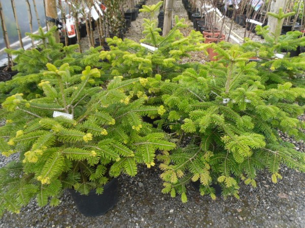 Abies nordmanniana, Conifer from Dunwiley Nurseries Ltd., Stranorlar, Co. Donegal, Ireland