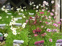 Saxifraga Red, Rose & White Alpines from Dunwiley Nurseries and Garden Centre, Stranorlar, Co. Donegal, Ireland