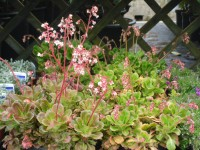 Saxifraga x urbium Alpine from Dunwiley Nurseries and Garden Centre, Stranorlar, Co. Donegal, Ireland