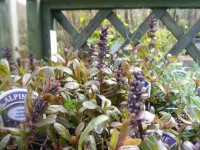 Ajuga 'Chocolate Chips' Alpine from Dunwiley Nurseries and Garden Centre, Stranorlar, Co. Donegal, Ireland