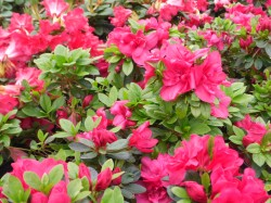 Azalea 'Mother's Day' from Dunwiely Nurseries Ltd., Donegal, Ireland