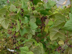 Blackcurrant Bushes from Dunwiley Nurseries Ltd., Stranorlar, Co. Donegal, Ireland