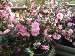 Camellia x williamsii 'Donation' from Dunwiley Nurseries Ltd, Stranorlar, Co. Donegal,  Ireland
