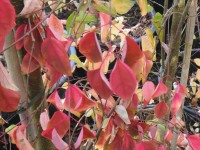 Cercidiphyllum japonicum Tree (Autumn Colour) from Dunwiley Nurseries Ltd., Dunwiley, Stranorlar, Co. Donegal, Ireland.