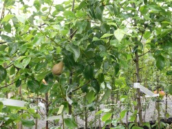 Pyrus communis 'Conference' available from Dunwiley Nurseries, Stranorlar, Donegal.