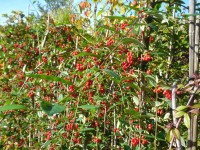 Cotoneaster hybridus 'Pendulus' Tree from Dunwiley Nurseries Ltd., Dunwiley, Stranorlar, Co. Donegal, Ireland.