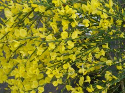 Cytisus x praecox 'Allgold' from Dunwiley Nurseries Ltd., Stranorlar, Co. Donegal, Ireland