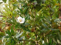 Eucryphia cordifolia Tree from Dunwiley Nurseries Ltd., Dunwiley, Stranorlar, Co. Donegal, Ireland.