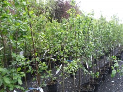 Selection of Fruit Trees always avilable from Dunwiley Nurseries, Stranorlar, Donegal.
