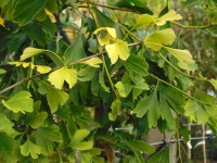 Ginkgo bilobaTree from Dunwiley Nurseries Ltd., Dunwiley, Stranorlar, Co. Donegal, Ireland.