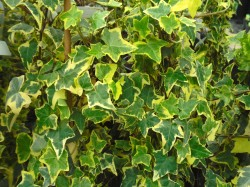 Hedera helix 'Goldchild' climbers available from Dunwiley Nurseries, Stranorlar, Donegal.