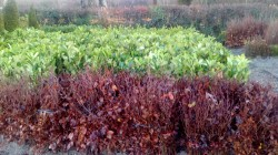 Bare Root Purple Beech and Laurel Hedging from Dunwiley Nurseries Ltd., Dunwiley, Stranorlar, Co. Donegal, Ireland.