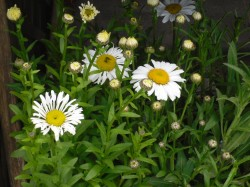 Leucanthemum x superbum 'Lacrosse' & 'Snowlady' from Dunwiley Nurseries, Co. Donegal, Ireland