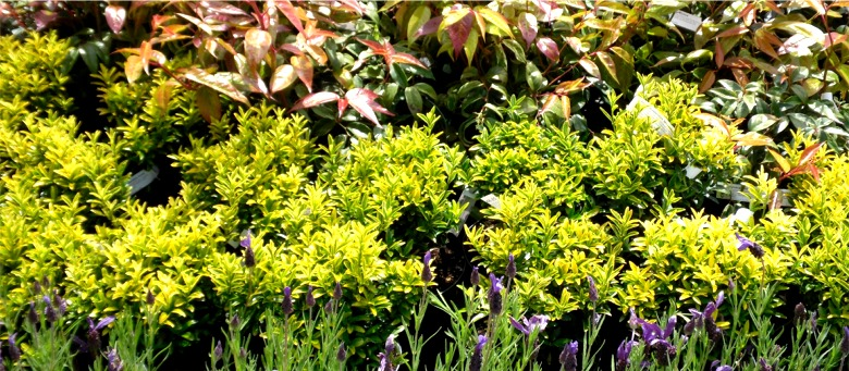 Shrubs from Dunwiley Nurseries, Stranorlar, County Donegal, Ireland