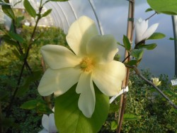 Magnolia 'Golden Sun' Tree from Dunwiley Nurseries Ltd., Stranorlar, Co. Donegal, Ireland