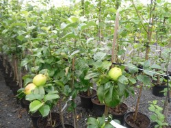 Malus domestica 'Rev. W. Wilks' available from Dunwiley Nurseries Ltd., Stranorlar, Co. Donegal, Ireland.