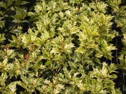 Osmanthus heterophyllus 'Goshiki' Tricolor from  Dunwiley Nurseries Ltd., Stranorlar, Co. Donegal.
