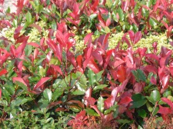 Photinia fraseri 'Red Robin'   from Dunwiley Nurseries Lt.d., Stranorlar, Co. Donegal.