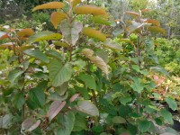 Populus lasiocarpa Tree from Dunwiley Nurseries Ltd., Dunwiley, Stranorlar, Co. Donegal, Ireland.