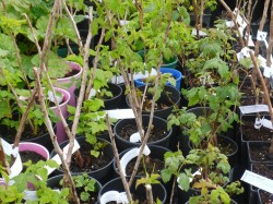 Raspberry Canes from Dunwiley Nurseries Ltd., Stranorlar, Co. Donegal, Ireland