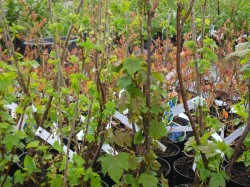 Red Currant Bushes from Dunwiley Nurseries Ltd., Stranorlar, Co. Donegal, Ireland