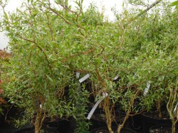 Salix matsudana 'Tortuosa' (Corkscrew Willow) from Dunwiley Nurseries Ltd., Stranorlar, Co. Donegal, Ireland
