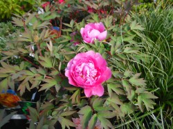 Paeonia suffruticosa (Tree Peony) from Dunwiley Nurseries Lt.d., Stranorlar, Co. Donegal.