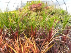 Corydyline australis & Cordyline australis 'Red Star'  from Dunwiley Nurseries, Co. Donegal, Ireland