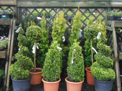Buxus Sempervirens from Dunwiley Nurseries Ltd., Stranorlar, Co. Donegal.