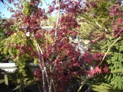 Acer palmatum 'Atropurpureum' Japanese Maples from Dunwiley Nurseries Ltd., Stranorlar, Co. Donegal, Ireland