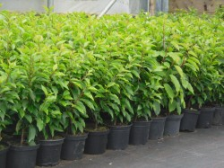 Portuguese Laurel hedging available from Dunwiley Nurseries, Stranorlar, Donegal.