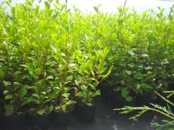 Griselina hedging available from Dunwiley Nurseries, Stranorlar, Donegal.