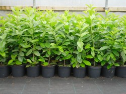 Laurel hedging available from Dunwiley Nurseries, Stranorlar, Donegal.