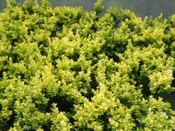 Gold Boxwood hedging available from Dunwiley Nurseries, Stranorlar, Donegal.