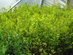 Green & Gold Privet hedging available from Dunwiley Nurseries, Stranorlar, Donegal.