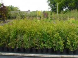 Thuja 'Gelderland' hedging available from Dunwiley Nurseries, Stranorlar, Donegal.