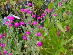 Lychnis coronaria 'Atrosanguinea' from Dunwiley Nurseries, Co. Donegal, Ireland