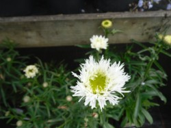 Leucanthemum x superbum 'Aglaia'from Dunwiley Nurseries, Co. Donegal, Ireland