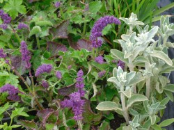 Salvia verticillata 'Purple Rain' & Stachys byzantina from Dunwiley Nurseries, Stranorlar, Co. Donegal.
