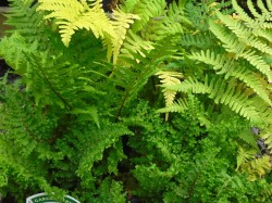 Dryopteris felix-mas 'Linearis Polydactyl' fern from from Dunwiley Nurseries, Co. Donegal, Ireland