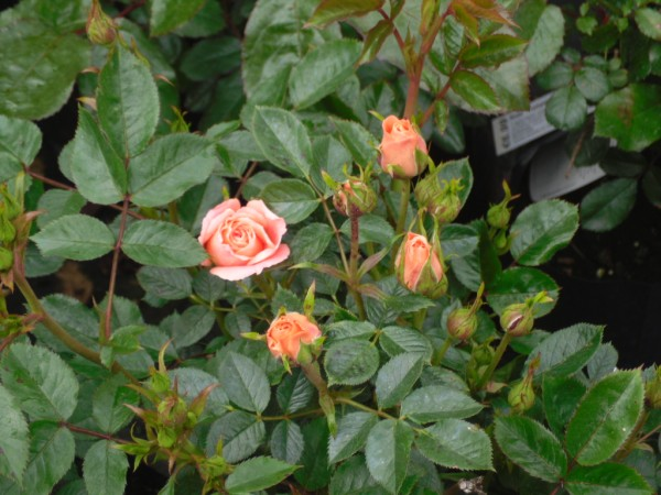 Sweet Dream Roses from Dunwiley Nurseries & Garden Centre, Stranorlar, Donegal.