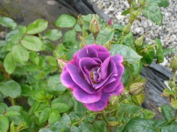 Rhapsody in Blue Roses from Dunwiley Nurseries & Garden Centre, Stranorlar, Donegal.