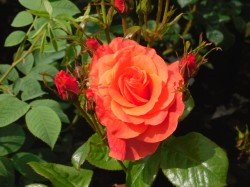 Newsflash Roses from Dunwiley Nurseries & Garden Centre, Stranorlar, Donegal.