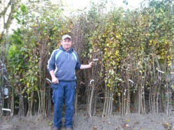 Bare Root Native Irish Apple Trees available from Dunwiley Nurseries Ltd., Stranorlar, Co. Donegal, Ireland.