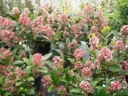 Skimmia japonica 'Rubella' from Dunwiley Nurseries Ltd., Stranorlar, Co. Donegal, Ireland