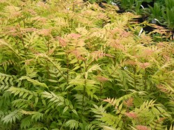 Sorbaria sorbifolia (False Spiraea) from Dunwiley Nurseries Ltd., Stranorlar, Co. Donegal, Ireland