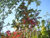 Sorbus Joseph Rock  Tree from Dunwiley Nurseries Ltd., Dunwiley, Stranorlar, Co. Donegal, Ireland.