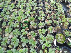Strawberry Plants  from Dunwiley Nurseries Ltd., Stranorlar, Co. Donegal, Ireland