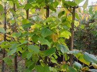 Tilia cordata 'Greenspire' Tree from Dunwiley Nurseries Ltd., Dunwiley, Stranorlar, Co. Donegal, Ireland.